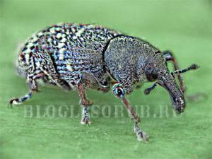 жук долгоносик фото