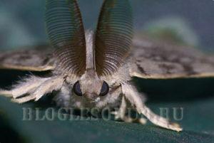 шелкопряд монашенка фото