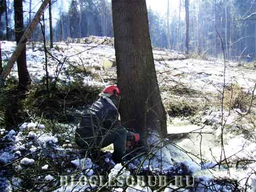 спил-корневой-шейки-для-повала-дерева фото