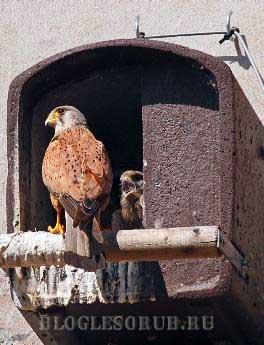 гнездовье-для-соколов фото