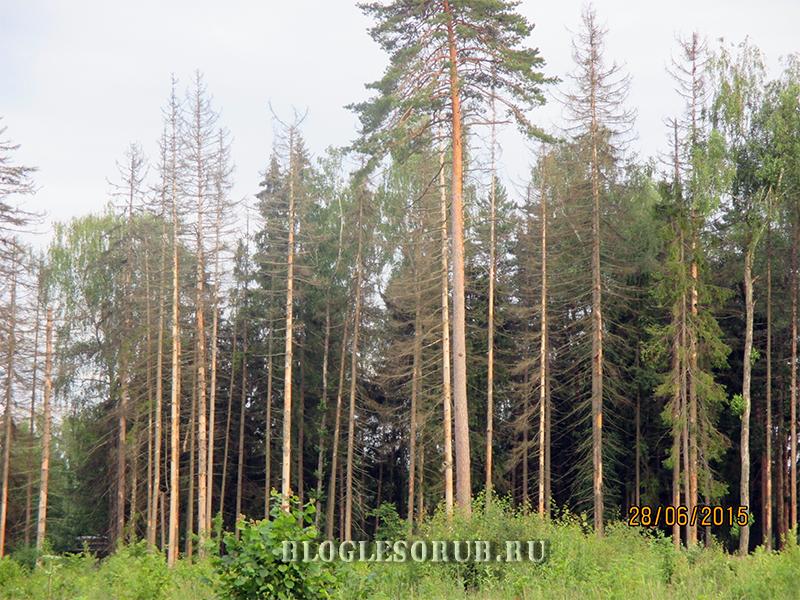 леса после типографа жука фото