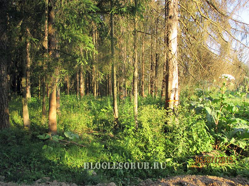 лес пораженный жуком фото