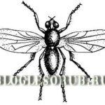 еловая шишковая муха фото