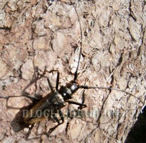 черный сосновый усач фото