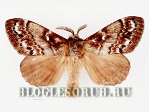 сибирский шелкопряд фото
