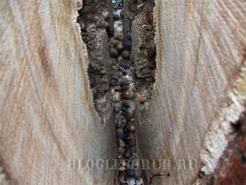 гнездо-шершней-фото