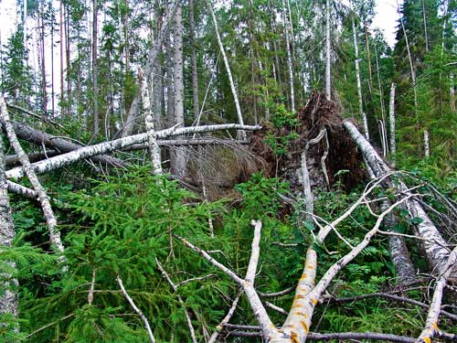 Разработка ветровально-буреломных лесосек