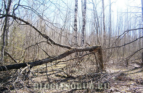 буреломное дерево валежник фото
