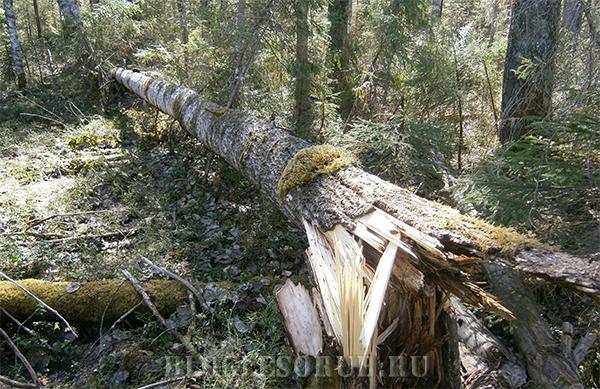 Можно ли собирать валежник в лесу