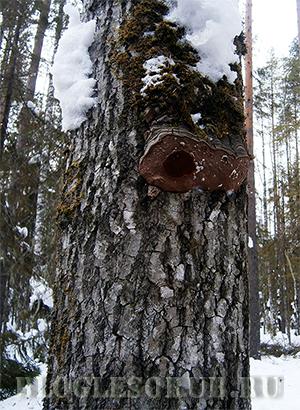 Осина – коварное дерево для валки